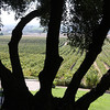 This would be case of amateur photographer - me - trying to be artsy! This is the Stillwater vineyard just outside Paso Robles thought the old trunk of an olive tree.