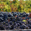 One of my favorite photos of all time - harvesting Cabernet!