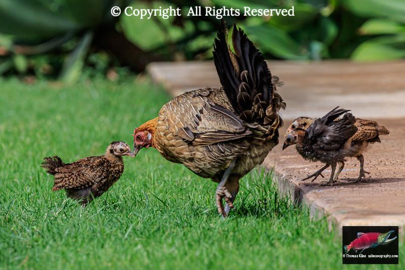 Free-ranging chicken hen with chicks
