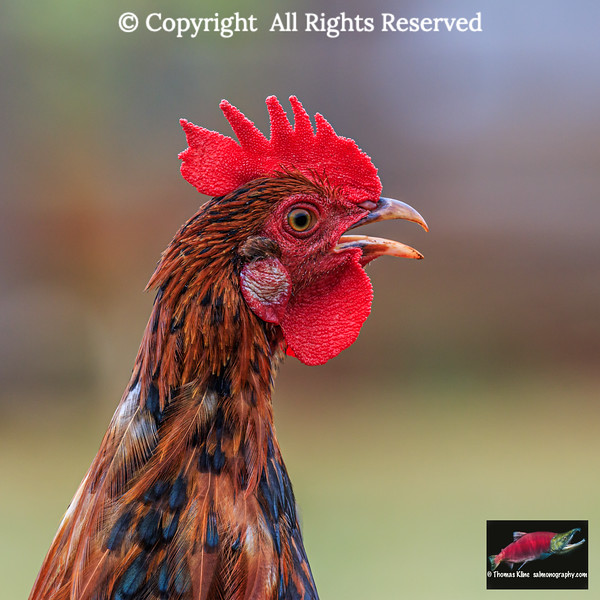 Free-ranging rooster crowing