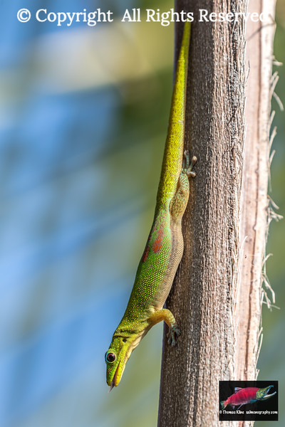 Gold dust day gecko resting on a palm