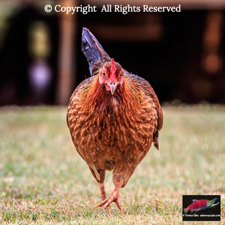 Free-ranging hen