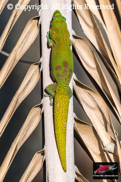 Gold dust day gecko resting on a palm tree