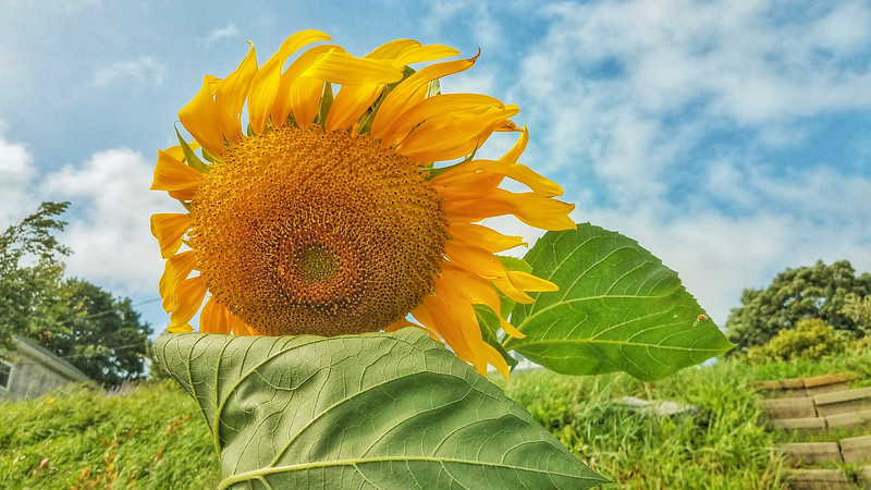 Summer Sunflower, Squantum MA