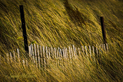 A sand fence runs through tall grass in Presqu'ile Provincial Park south of Trenton, Ontario.