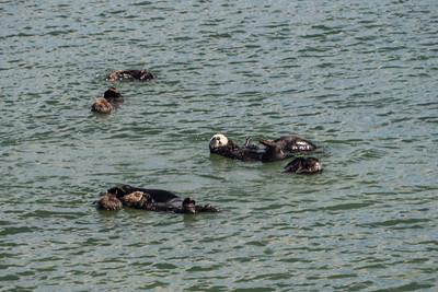 Otters at Elkhorn Slough, Moss Landing, CA.  2017-09