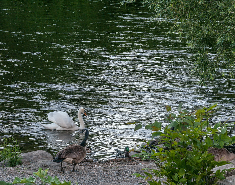 Swan, Goose and Duck on the Rideau River
