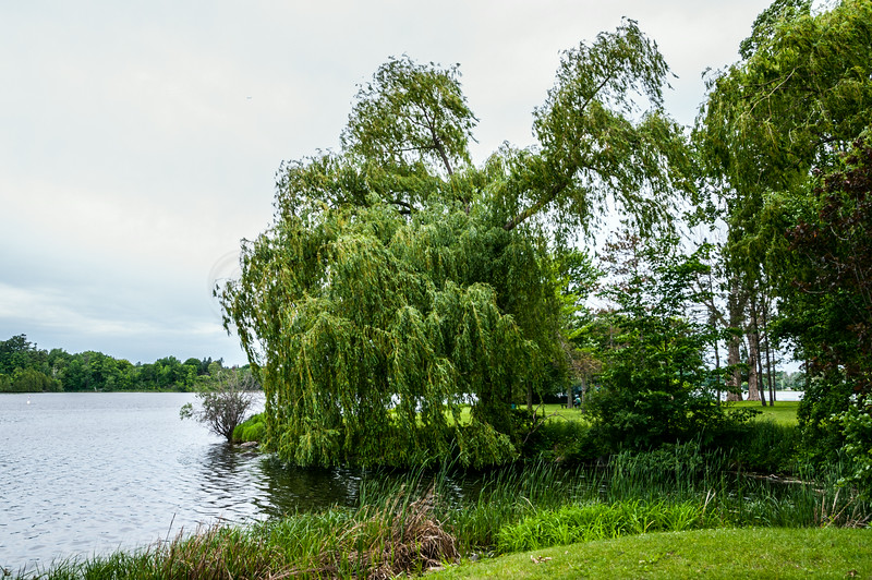 Willow on the Rideau