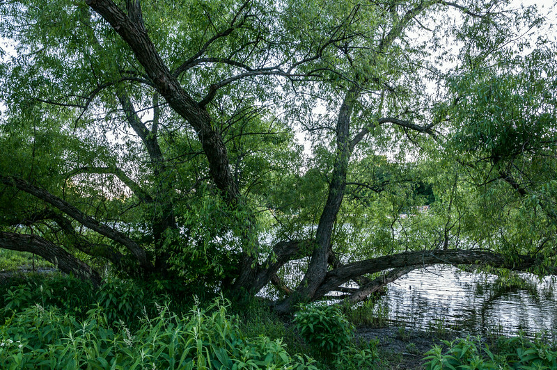 A tangle of limbs, Rideau River