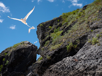 These white birds with long tails were aerial acrobats, flying out over the water, then returning to these rocks at the end of the beach, touching down or not even touching and then gone again to the other end of the beach. Back and forth; back and forth.