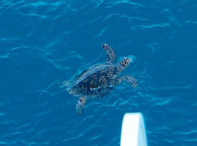 Wow! Today, while anchored at the Royal Dockyards, we saw this fellow swimming around near our ship. It was a fairly large turtle as this is taken from 10 decks up above the water.