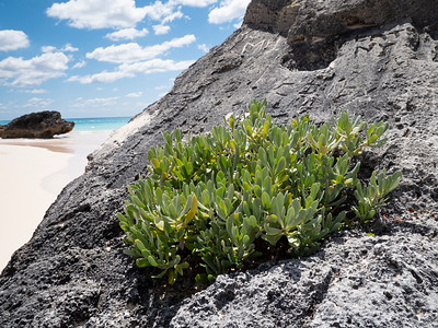 Succulents attach themselves to the rocks at Horsehoe Beach.