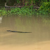 High water brings wildlife to the flooded areas by the river. An alligator hunts along the levee.