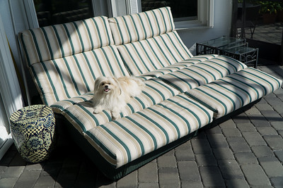 Biggie loves the chaise, basking in the warmth in the lanai out back of the Welber house.