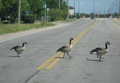 Canada Geese Crossing
