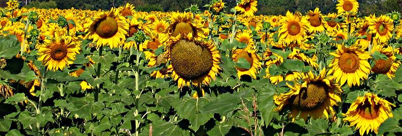 Manitoba sunflowers