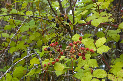 Fern_Ridge_Reservoir_003 - I LOVE that blackberries grow wild, everywhere!