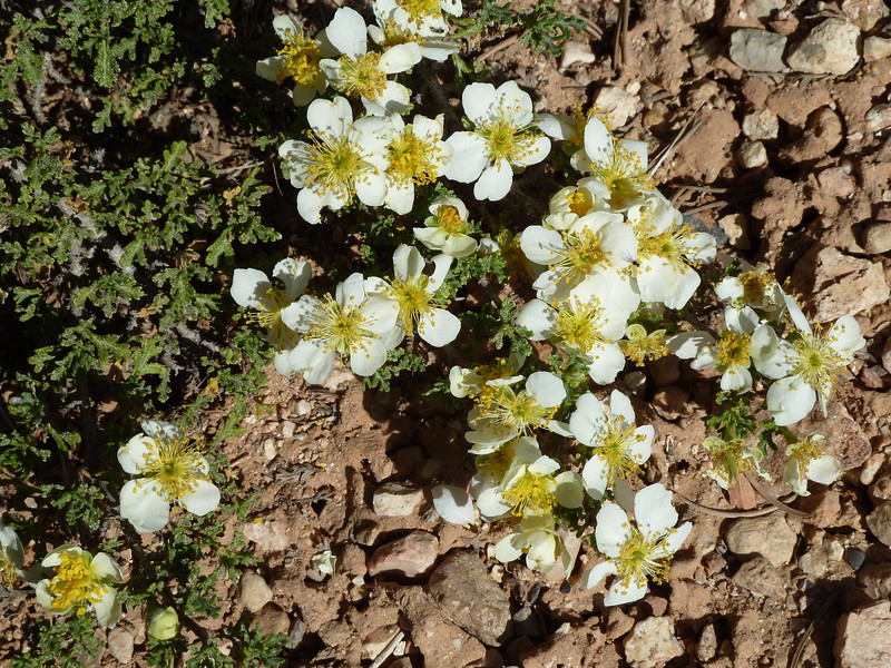 Cliff Rose in bloom.