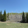 Excellent Aspen management in the Kaibab National Forest.