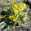 Mule Ears, named for the large fuzzy leaves of this relative of the sunflower.