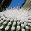 New growth on Saguaro