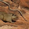 Dassie-rat and snake. They pretended not see each other.