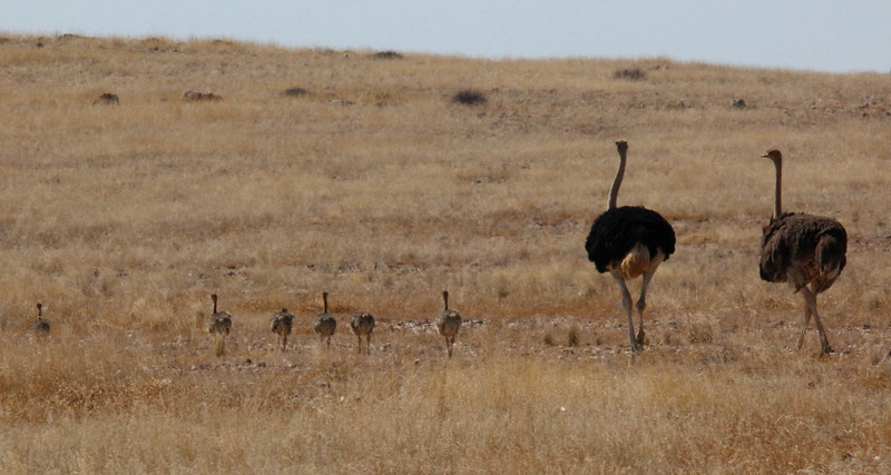 Mom, dad, and baby ostriches.