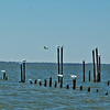 Gulls in Currituck Sound