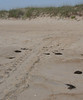 Here are the turtle tracks leading to the nest.