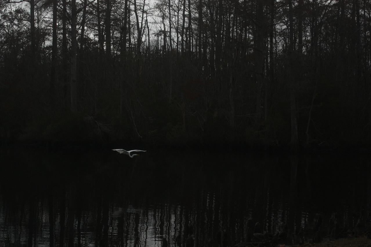 Erget flying in to say hello, Hall's Creek, Nixonton, North Carolina