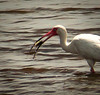 White Ibis catching Crab