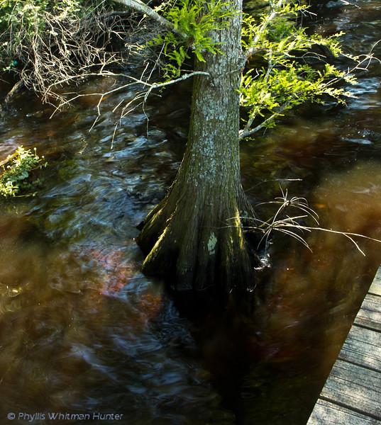 Cypress Tree in Murky Waters