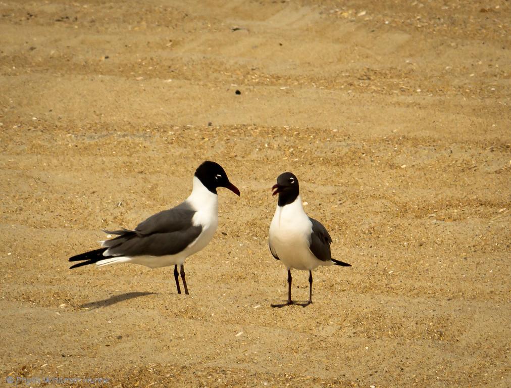 Gull Conversation