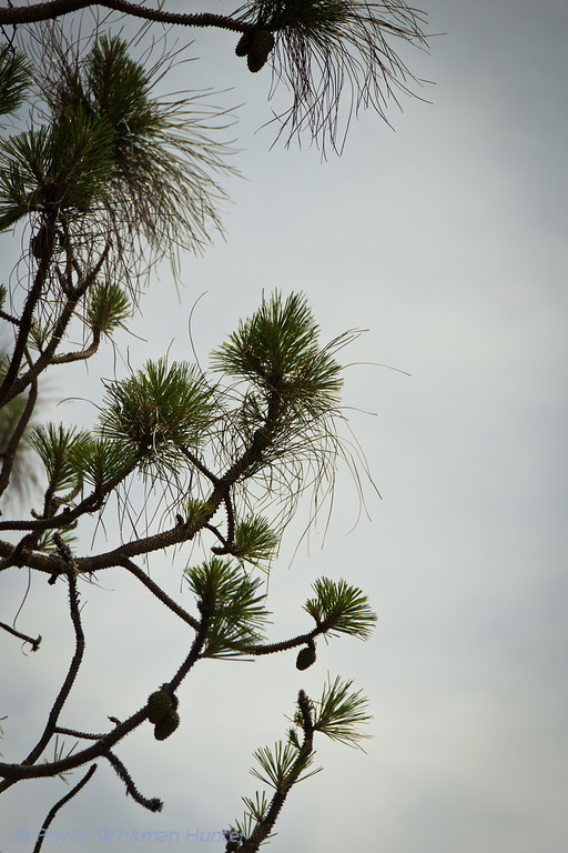 Longleaf Pine against a grey sky