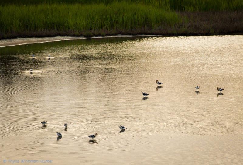 American Avocets enjoying the inlet.
