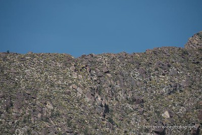See the Big Horn sheep?