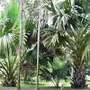 Pampelmousse Botanical Gardens near Port Louis, Mauritius.