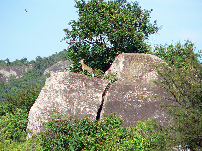 And only one Klipspringer....