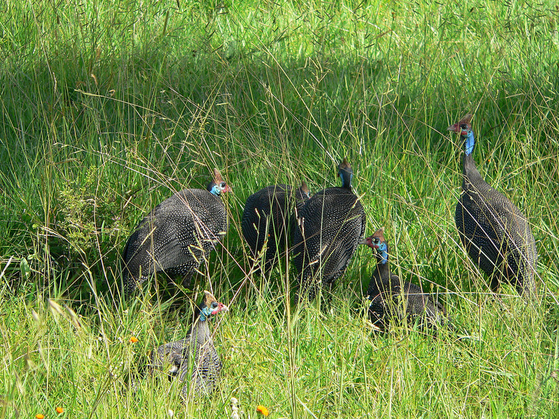 Some Helmeted Guinea Fowl along the roadside en route to Migration Camp.<br /> <br /> The slate-grey plumage is finely spotted with white; the face and neck are naked and blue and the naked crown is a bright red.  On the top of the head there is a vertical, horn-coloured bony casque.