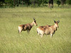 Hartebeest - Serengeti.
