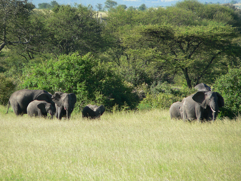 Serengeti Elephants