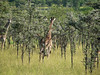 More Giraffe.