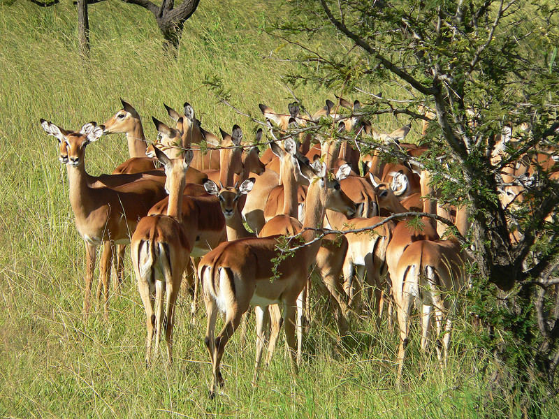 "Impalas in Serengeti.  <br /> <br /> I call them the ""McDonalds"" of the animal kingdom.  Look at their backsides and see the animal equivalent of the ""golden arches"" -except their arches are dark brown."