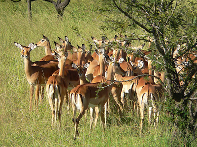 "Impalas in Serengeti.    I call them the ""McDonalds"" of the animal kingdom.  Look at their backsides and see the animal equivalent of the ""golden arches"" -except their arches are dark brown."