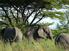 Serengeti Elephants.