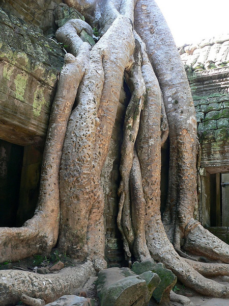 Strangler fig roots immediately behind the entrance to Ta Prohm Temple.