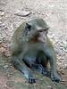 Adult monkey en route to Angkor Wat Temple.