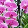 Orchids, Marina Mandarin Hotel Ground Floor, Singapore.
