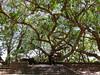 Sacred tree at Ambohimanga