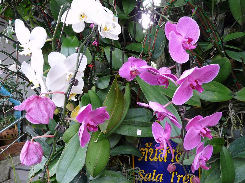 Orchids at Wat Phra That Doi Suthep Temple complex.